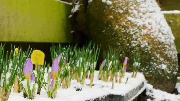 Sneeuw en krokussen.. Mooie combi in deze tijd van het jaar. Foto is van Johan de Jonge.