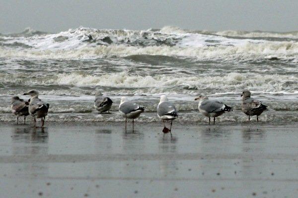 De weerspreuk 'Meeuwen op het land, er is storm op de hand' kwam gisteren weer mooi uit. Foto is van Sjef Kenniphaas uit Egmond aan Zee.