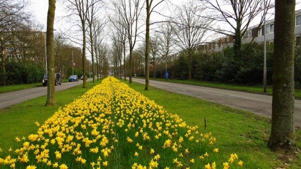 Fraai bloeiende narcissen in Venlo. Foto is van Piet van den Hombergh