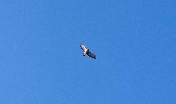 Een witte buizerd vliegend met een knalblauwe achtergrond. Foto werd gemaakt door Carel ten Hoor.