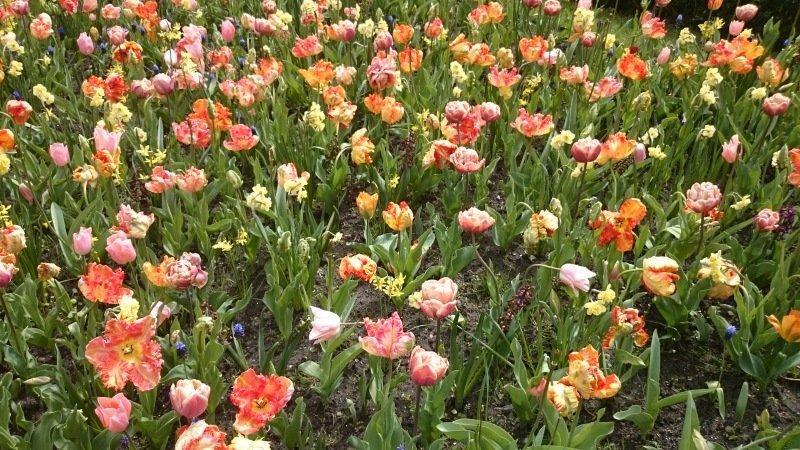 De tulpen in de museumtuin van het Rijksmuseum stonden er nog fraai bij. Foto maakte ikzelf.