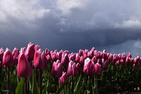 Bloeiende tulpen met als achtergrond een bui. Lente 2016 in beeld. Foto is van San vd Veen (@saniet83)
