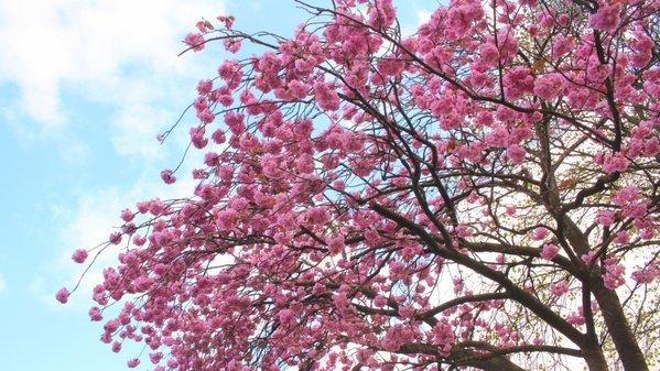 De Japanse kers staat weer fraai in bloei. Foto is van Martin Vye.