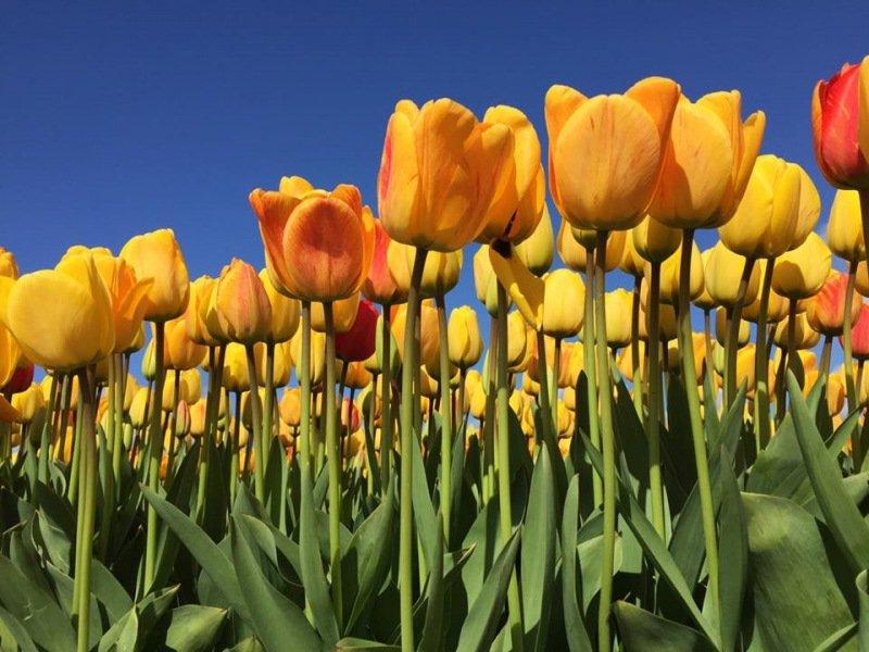 De bollenvelden staan weer volop in bloei. Deze foto werd gemaakt door Arie-Maarten Piet.