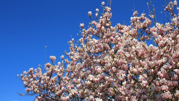 Fraai bloeiende magnolia. Foto is van Martin Vye.