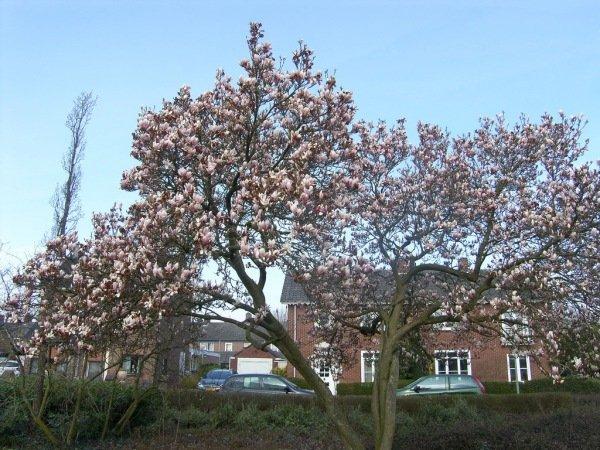 De magnolia komt fraai in bloei. Foto is van Wally Selder.