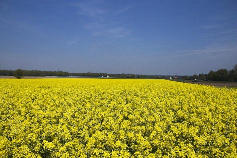 Mooie kleurencombinatie van het gele koolzaad en de blauwe lucht. Foto is van Anita Coenen.