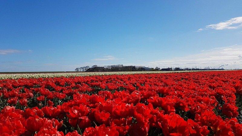 Rode tulpen en blauwe lucht. Het was een prachtige dag gisteren. Foto is van Jannes Wiersema.