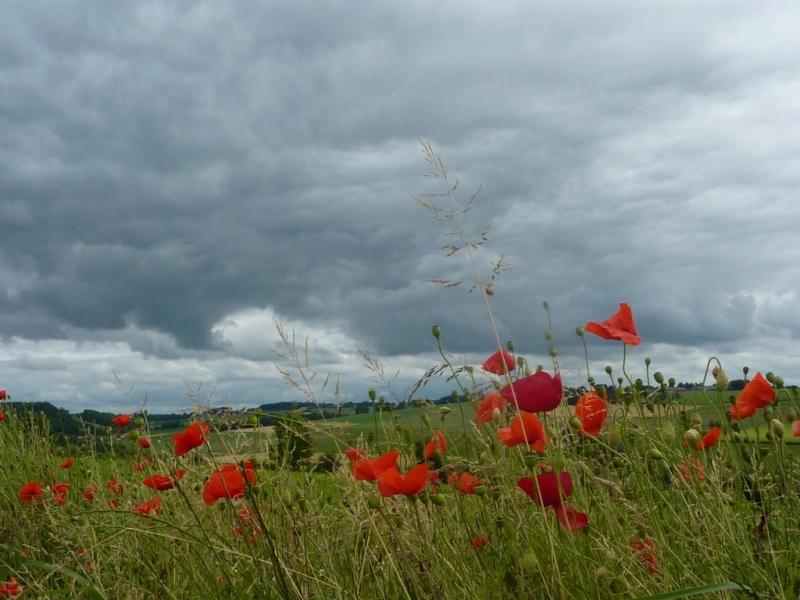 In het zuiden was het over het algemeen grijs en bewolkt en gaven de klaprozen nog enige kleur. Foto: Marij Bouwers