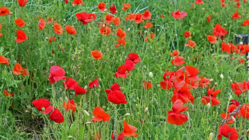 Ze bloeien echt overal... ;-) Foto werd gemaakt door Sjef Kenniphaas.