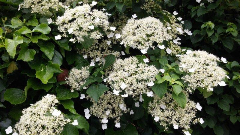De heerlijk geurende klimhortensia mooi in bloei. Foto is van Martin Vye.