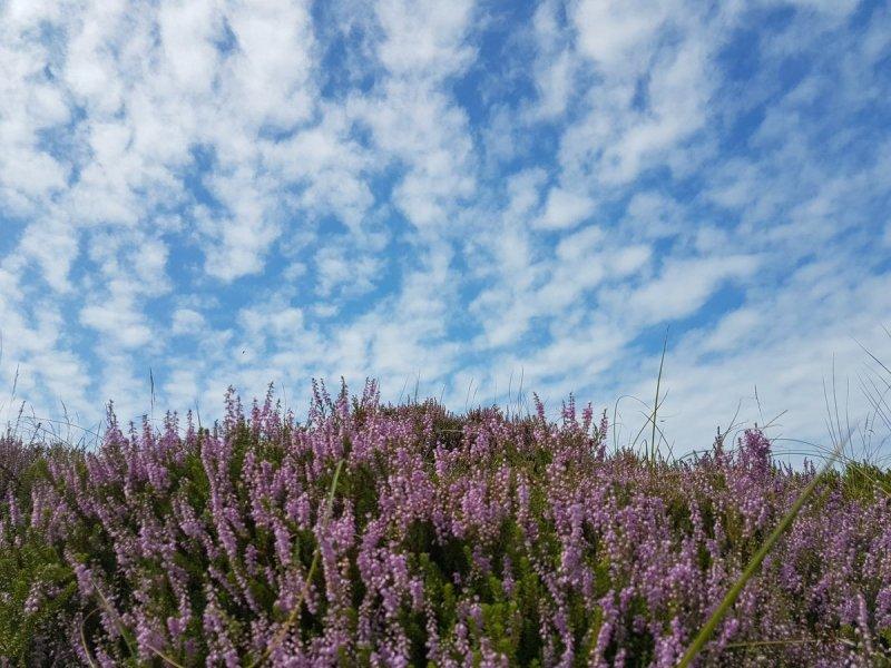 Zonneschijn en bloeiende heide. Mooie combinatie. Foto is gemaakt door Evert-Jan Woudsma