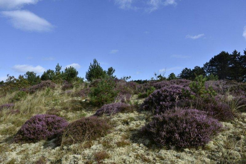 De hei begint langzaam in bloei te komen. Deze prachtige foto werd gemaakt door Sytse Schoustra.
