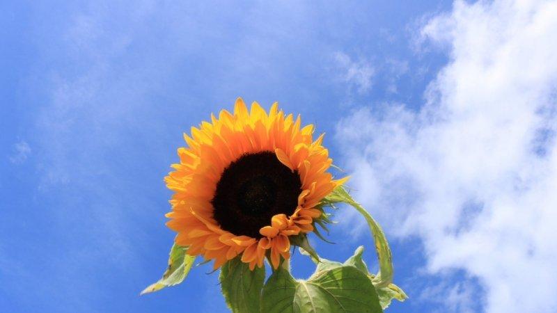 De zonnebloemen staan in bloei. Foto is van Martin Vye.