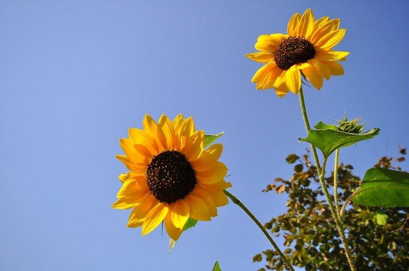 Mooie zonnebloemen tegen een blauwe lucht. Foto werd gemaakt door Ben Saanen.