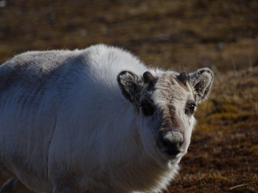 Spitsbergenrendier